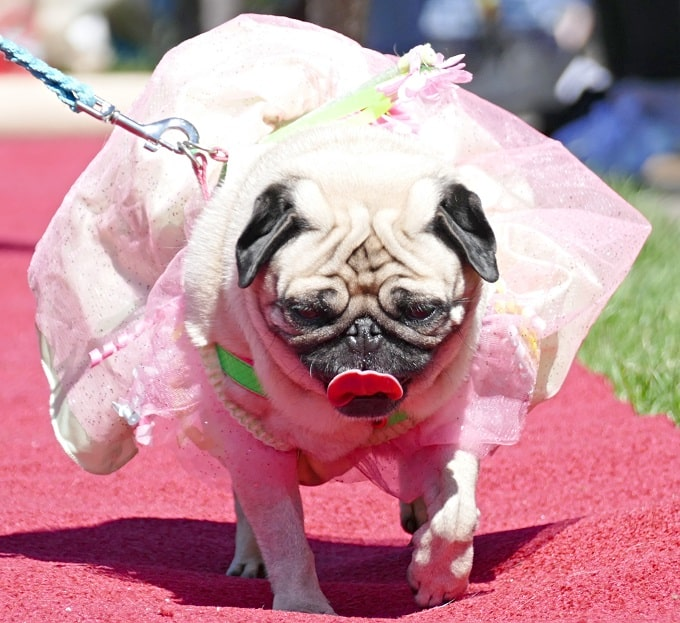 Photos: Bumble bee pug scoops top prize at Thanet Pugathon – The